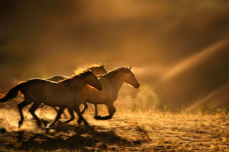 1180_1wild_horses_running_photo_6889a_copy_2
