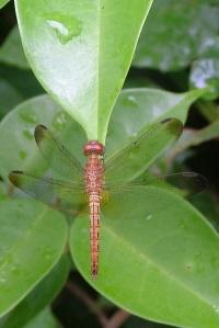 Brown_Dragonfly_Janie_Dubman.600