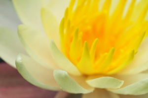 soft focus water lily macro