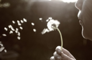 spp-dandelion-wishes1