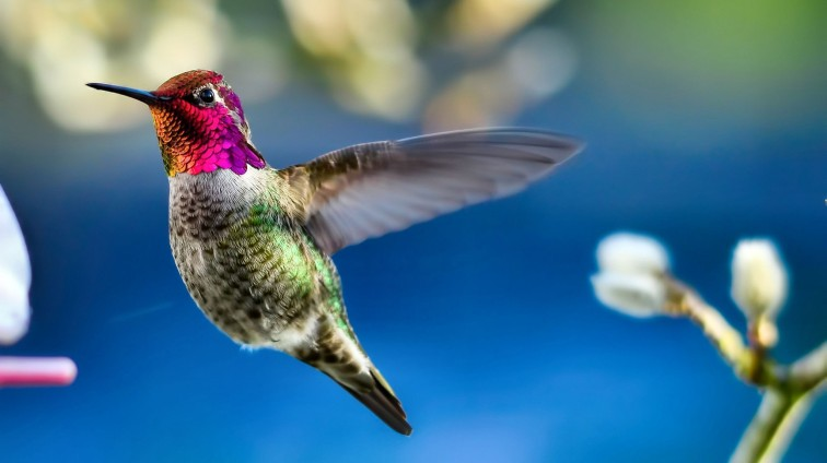 birds-ruby-throated-hummingbird-beautiful-animal-photography-avian-wildlife-wide-screen-photo-bird-images