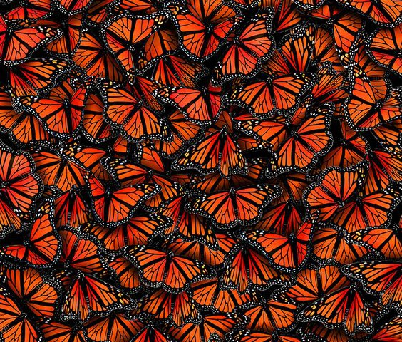 Monarch-Butterflies-Migration-season-The-Chromologist-564x480