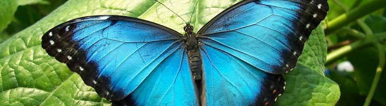 blue-morpho-butterfly-header