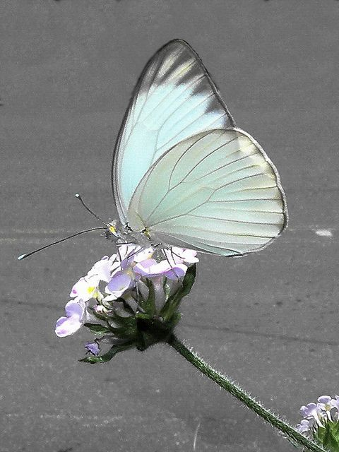 a5ae7f8e8f57683986848258cb7c59bf--white-butterfly-butterfly-wings